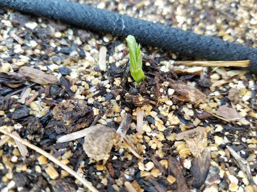 Sugar Ann snap pea sprout