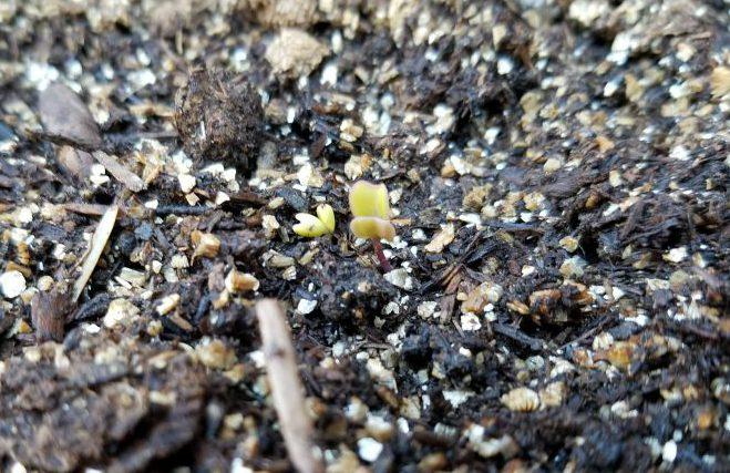 Lacinato Kale sprout