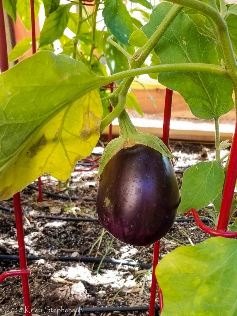 first eggplant