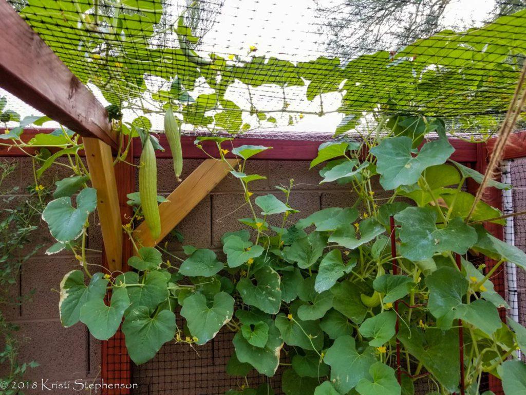 armenian cucumber vine