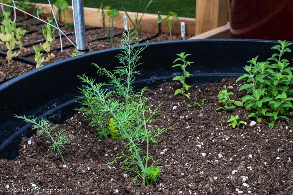 new dill plants