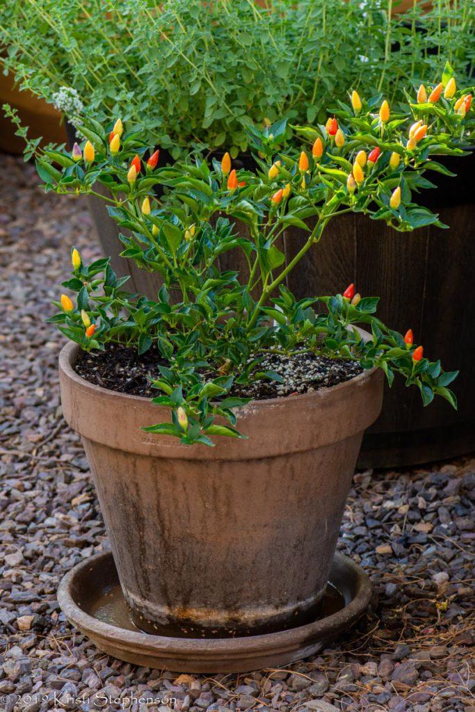 Ordono chile plant