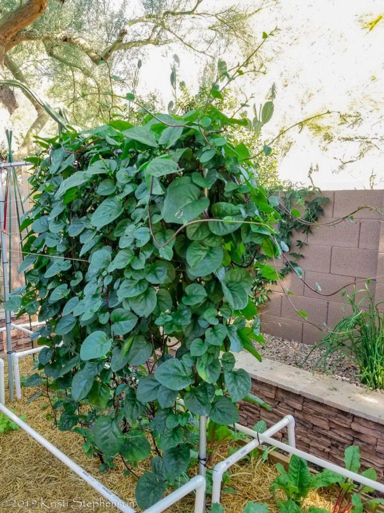 Malabar spinach - mature vine
