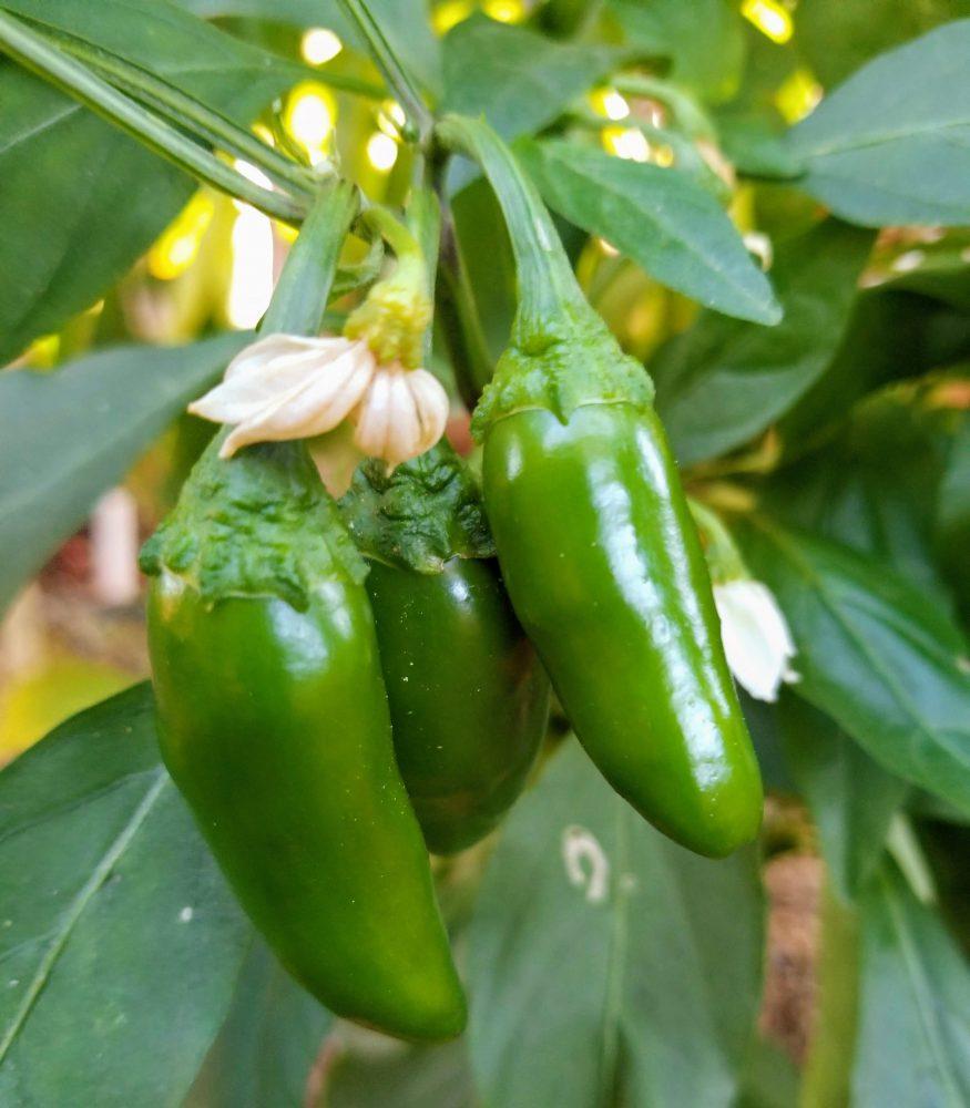 Chile plants