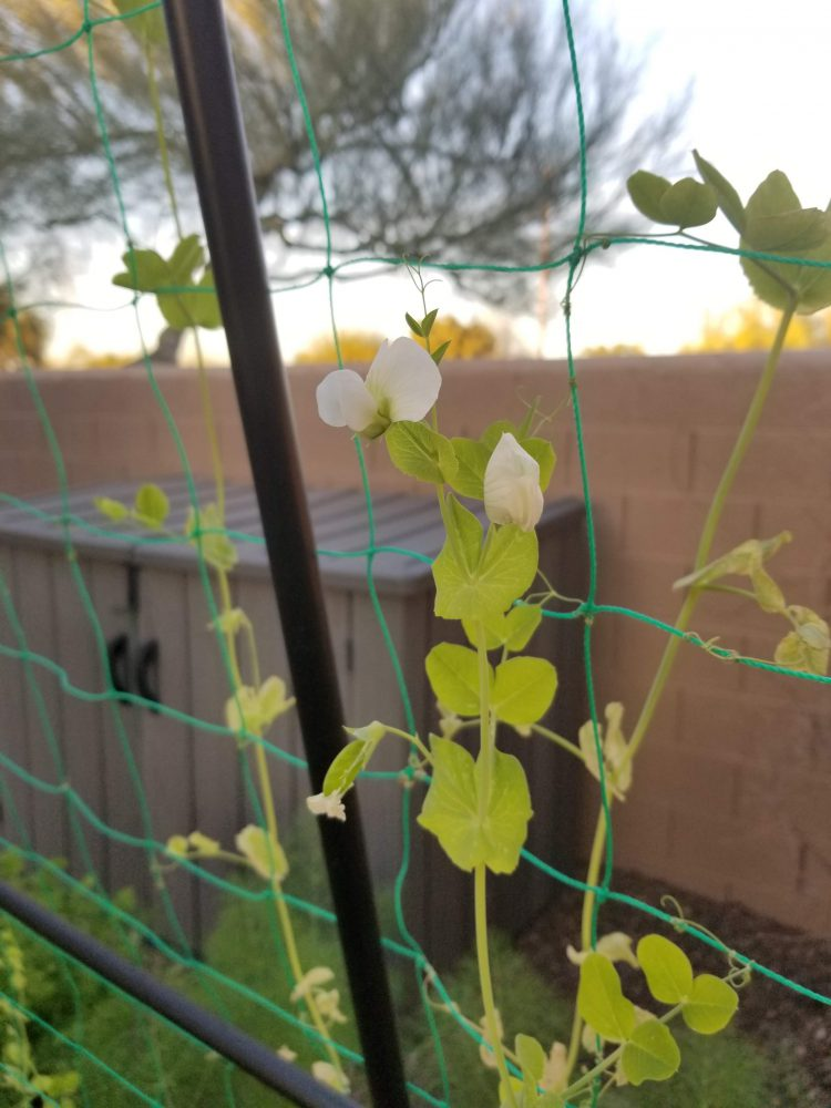 Thriving snap peas